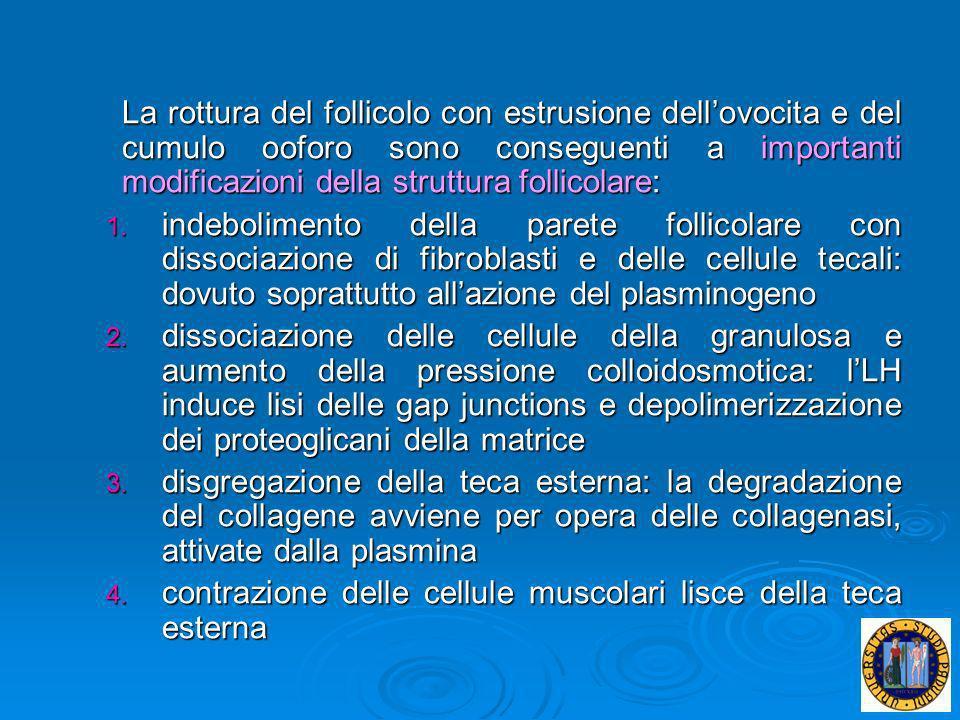 La rottura del follicolo con estrusione dellovocita e del cumulo ooforo sono conseguenti a importanti modificazioni della struttura follicolare: 1. in