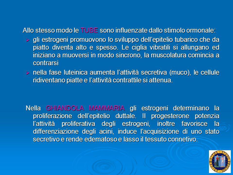 Allo stesso modo le TUBE sono influenzate dallo stimolo ormonale: gli estrogeni promuovono lo sviluppo dellepitelio tubarico che da piatto diventa alt