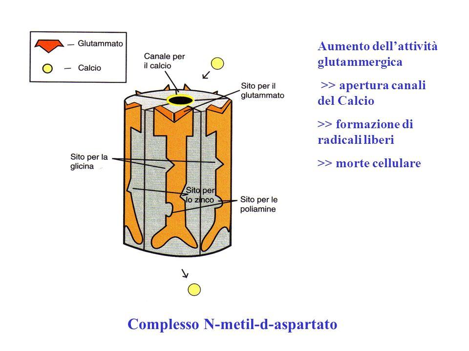 Complesso N-metil-d-aspartato Aumento dellattività glutammergica >> apertura canali del Calcio >> formazione di radicali liberi >> morte cellulare