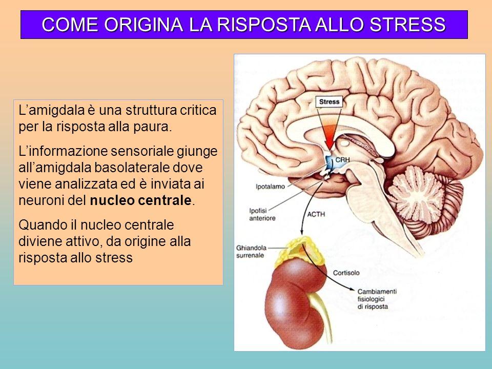 Lamigdala è una struttura critica per la risposta alla paura. Linformazione sensoriale giunge allamigdala basolaterale dove viene analizzata ed è invi