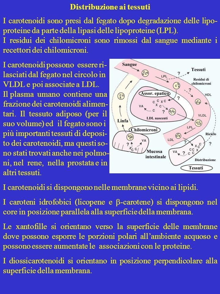 Distribuzione ai tessuti I carotenoidi sono presi dal fegato dopo degradazione delle lipo- proteine da parte della lipasi delle lipoproteine (LPL). I