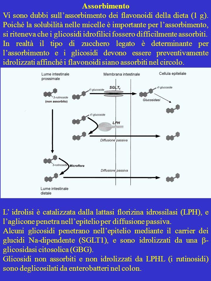 Assorbimento Vi sono dubbi sullassorbimento dei flavonoidi della dieta (1 g). Poiché la solubilità nelle micelle è importante per lassorbimento, si ri