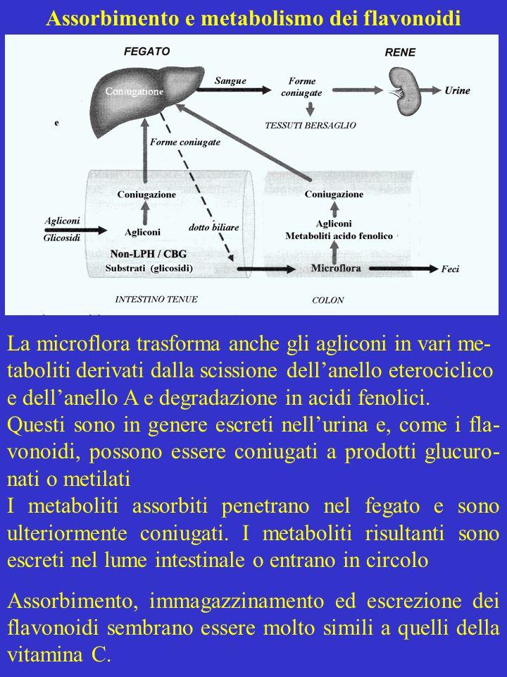 Assorbimento e metabolismo dei flavonoidi La microflora trasforma anche gli agliconi in vari me- taboliti derivati dalla scissione dellanello eterocic