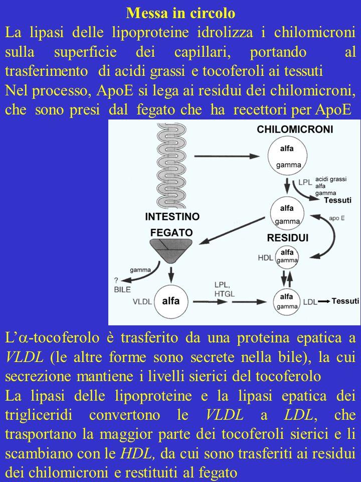 Trasferimento ai tessuti I tocoferoli passano ai tessuti con lidrolisi dei chilo- microni, ma anche dalle LDL, mediante i recettori delle LDL e diffusione transmembranaria I tocotrienoli, assorbiti come i tocoferoli, sono elimi- nati con i chilomicroni e depositati nel tessuto adiposo con i trigliceridi La vitamina E si accumula nelle membrane cellulari ricche di fosfolipidi La regolazione di livelli ematici e tessutali dipende dalla proteina legante il tocoferolo poiché laffinità per i tocoferoli è riflessa nei loro livelli ematici e tessutali, e pazienti privi della proteina hanno concen- trazioni molto basse di -tocoferolo.
