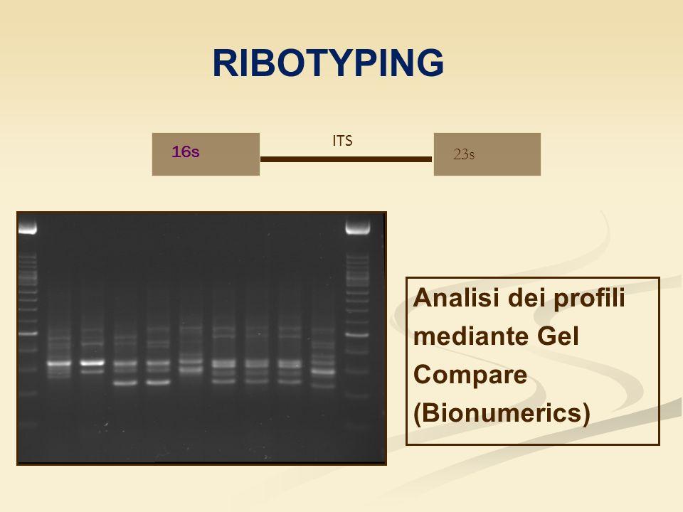 16s 23s ITS RIBOTYPING Analisi dei profili mediante Gel Compare (Bionumerics)