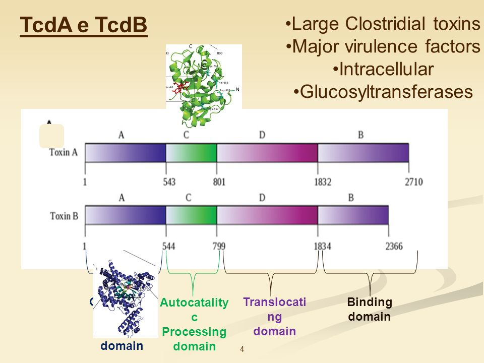 4 Large Clostridial toxins Major virulence factors Intracellular Glucosyltransferases Glucosylati ng enzymatic domain Autocatality c Processing domain