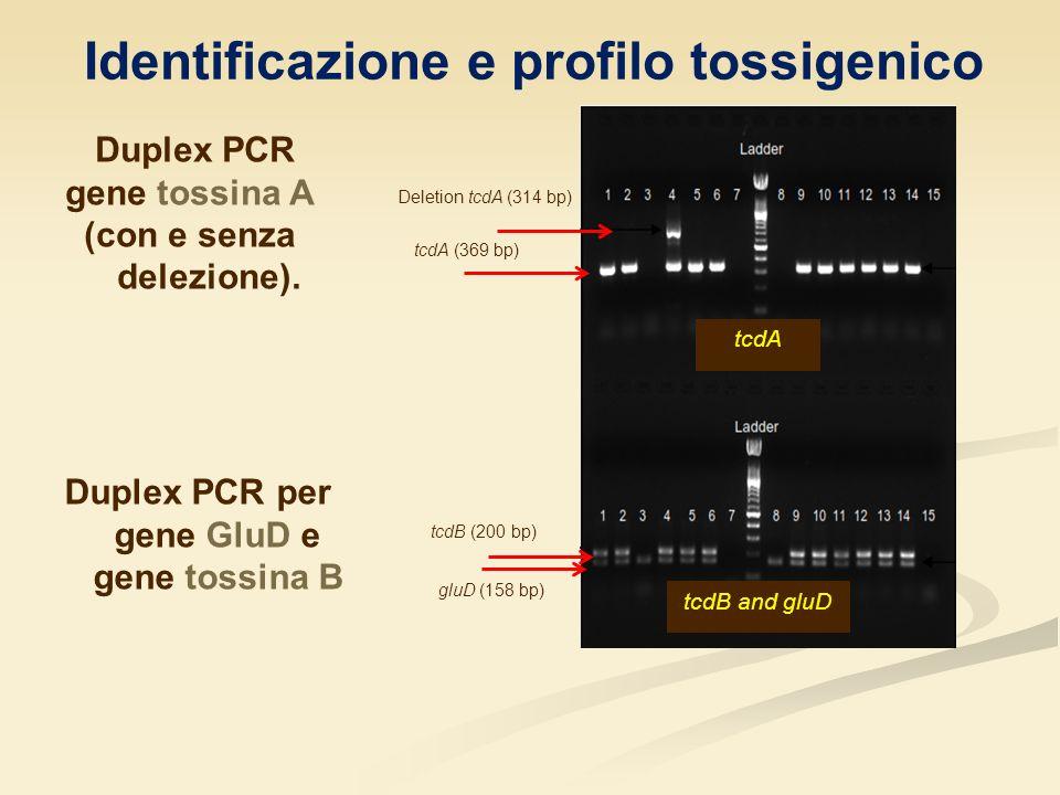 Duplex PCR gene tossina A (con e senza delezione). tcdA tcdB and gluD Deletion tcdA (314 bp) tcdA (369 bp) tcdB (200 bp) gluD (158 bp) Duplex PCR per