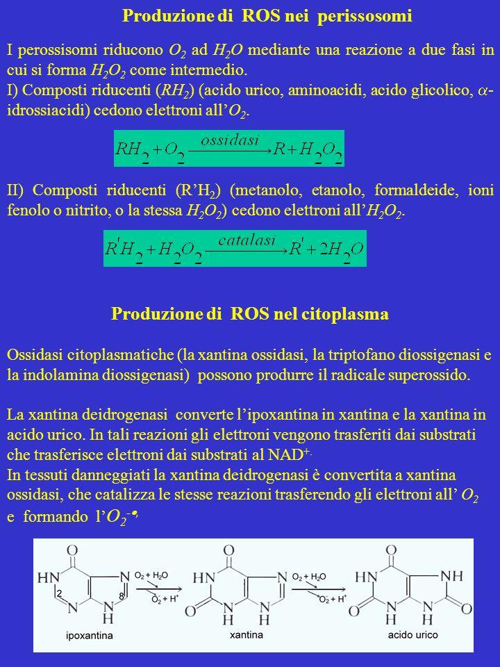 Produzione di ROS nei perissosomi I perossisomi riducono O 2 ad H 2 O mediante una reazione a due fasi in cui si forma H 2 O 2 come intermedio. I) Com