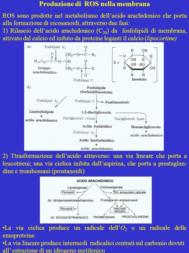 Produzione di ROS nella membrana ROS sono prodotte nel metabolismo dellacido arachidonico che porta alla formazione di eicosanoidi, attraverso due fas