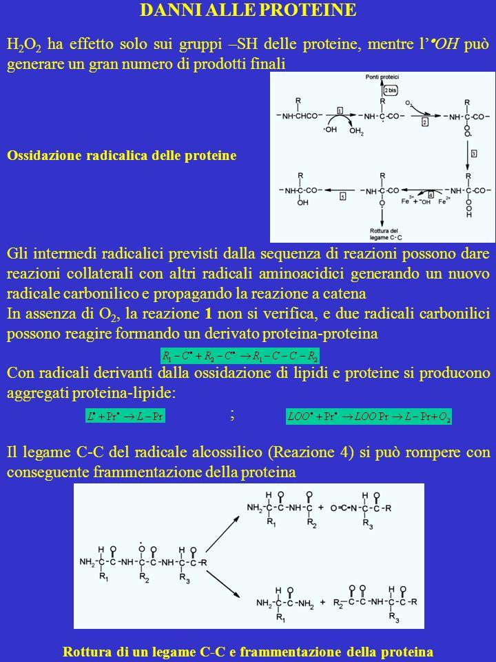 DANNI ALLE PROTEINE H 2 O 2 ha effetto solo sui gruppi –SH delle proteine, mentre l OH può generare un gran numero di prodotti finali Ossidazione radi