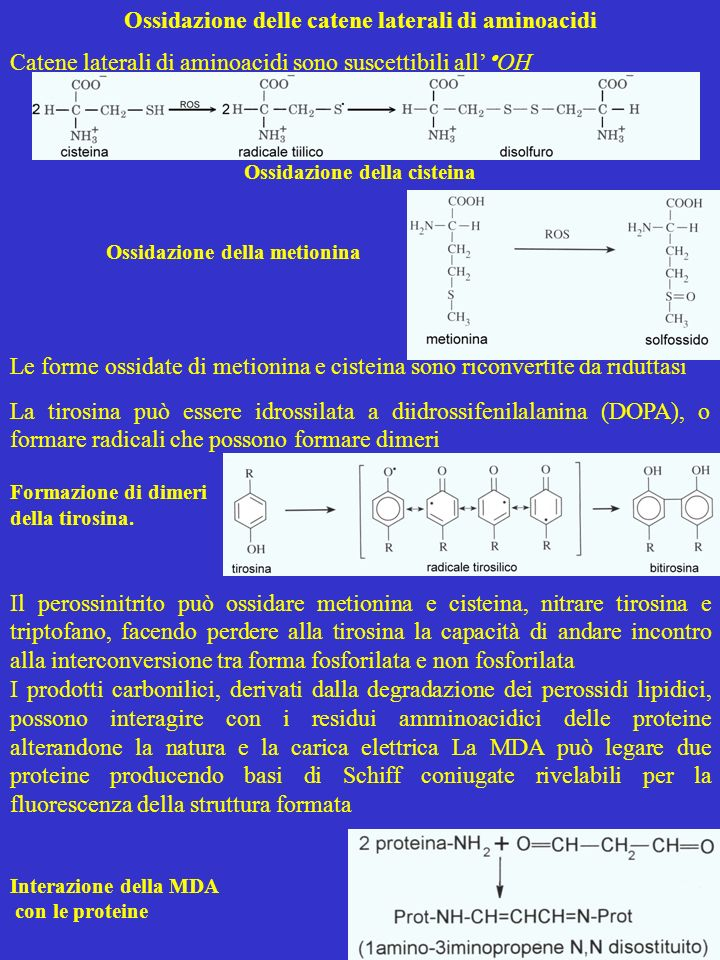Ossidazione delle catene laterali di aminoacidi Catene laterali di aminoacidi sono suscettibili all OH Ossidazione della cisteina Ossidazione della me