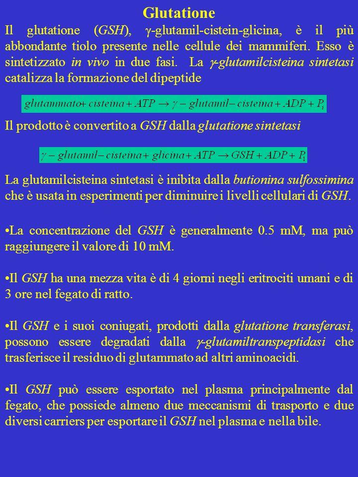 Glutatione Il glutatione (GSH), -glutamil-cistein-glicina, è il più abbondante tiolo presente nelle cellule dei mammiferi. Esso è sintetizzato in vivo