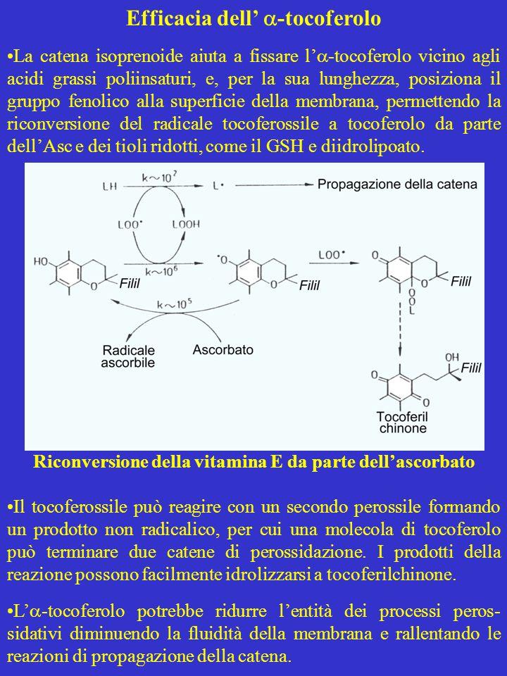 Efficacia dell -tocoferolo La catena isoprenoide aiuta a fissare l -tocoferolo vicino agli acidi grassi poliinsaturi, e, per la sua lunghezza, posizio