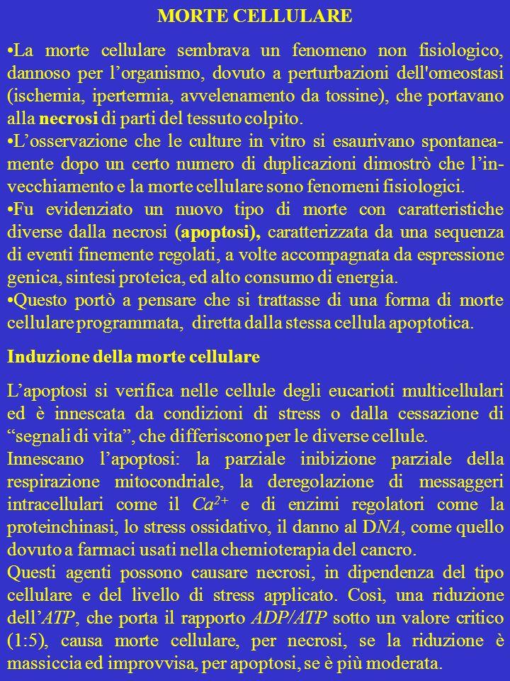 MORTE CELLULARE La morte cellulare sembrava un fenomeno non fisiologico, dannoso per lorganismo, dovuto a perturbazioni dell'omeostasi (ischemia, iper