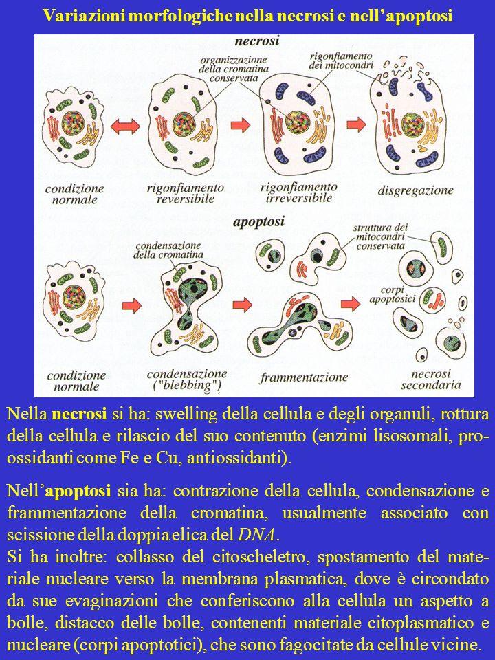 Variazioni morfologiche nella necrosi e nellapoptosi Nella necrosi si ha: swelling della cellula e degli organuli, rottura della cellula e rilascio de