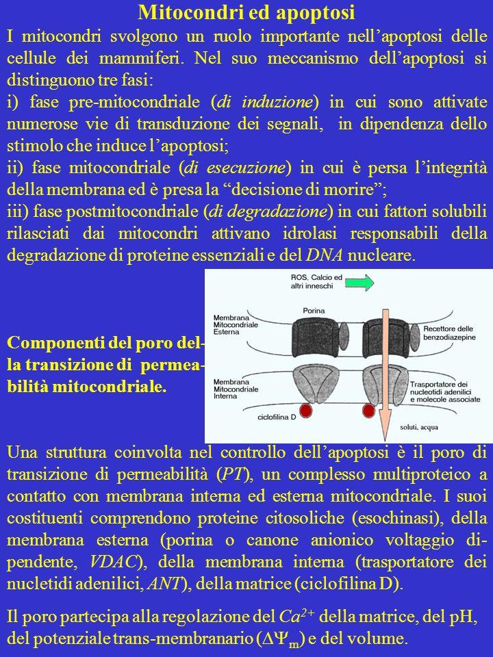 Mitocondri ed apoptosi I mitocondri svolgono un ruolo importante nellapoptosi delle cellule dei mammiferi. Nel suo meccanismo dellapoptosi si distingu