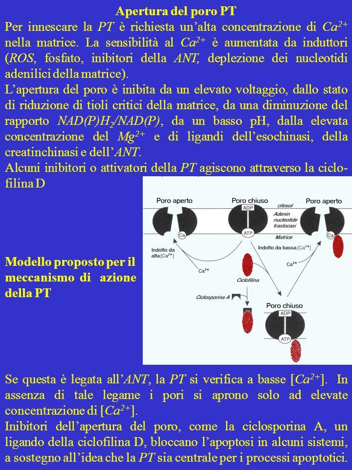 Apertura del poro PT Per innescare la PT è richiesta unalta concentrazione di Ca 2+ nella matrice. La sensibilità al Ca 2+ è aumentata da induttori (R