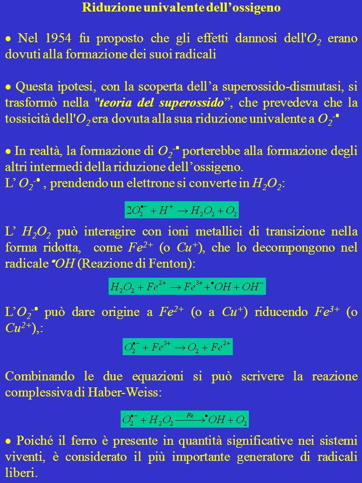 DANNI ALLE PROTEINE H 2 O 2 ha effetto solo sui gruppi –SH delle proteine, mentre l OH può generare un gran numero di prodotti finali Ossidazione radicalica delle proteine Gli intermedi radicalici previsti dalla sequenza di reazioni possono dare reazioni collaterali con altri radicali aminoacidici generando un nuovo radicale carbonilico e propagando la reazione a catena In assenza di O 2, la reazione 1 non si verifica, e due radicali carbonilici possono reagire formando un derivato proteina-proteina Con radicali derivanti dalla ossidazione di lipidi e proteine si producono aggregati proteina-lipide: ; Il legame C-C del radicale alcossilico (Reazione 4) si può rompere con conseguente frammentazione della proteina Rottura di un legame C-C e frammentazione della proteina