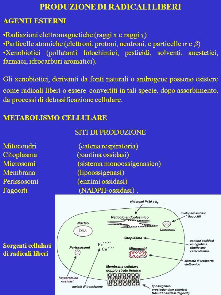 GENERAZIONE MITOCONDRIALE DI ROS La citocromo ossidasi cede 4 elettroni allO 2 (riduzione tetravalente), rilasciando solo il prodotto finale lH 2 O Componenti della catena respiratoria cedono un elettrone allO 2 (riduzione univalente) trasformandolo nel radicale O 2 -,, che è, a sua volta, trasformato in H 2 O 2 dalla SOD della matrice Si ritiene che H 2 O 2 prodotto dai mitocondri dipenda dalla dismutazione del O 2 - perché: la riduzione bivalente di O 2, termodinamicamente favorita, è cineticamente sfavorita richiedendo linversione dello spin una produzione di O 2 - è evidenziabile usando particelle submitocon- driali da cui la SOD è rimossa.