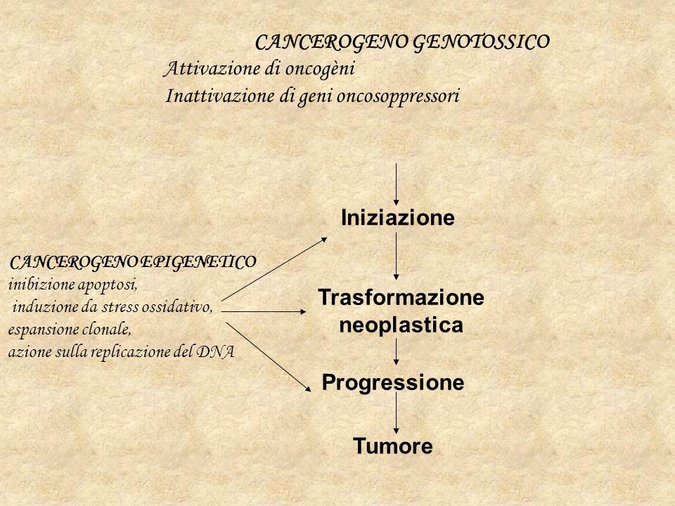 CANCEROGENO GENOTOSSICO Attivazione di oncogèni Inattivazione di geni oncosoppressori CANCEROGENO EPIGENETICO inibizione apoptosi, induzione da stress ossidativo, espansione clonale, azione sulla replicazione del DNA Trasformazione neoplastica Tumore Iniziazione Progressione