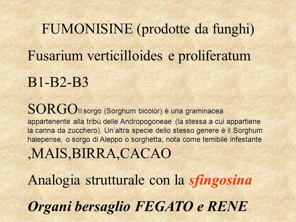 FUMONISINE (prodotte da funghi) Fusarium verticilloides e proliferatum B1-B2-B3 SORGO Il sorgo (Sorghum bicolor) è una graminacea appartenente alla tribù delle Andropogoneae (la stessa a cui appartiene la canna da zucchero).