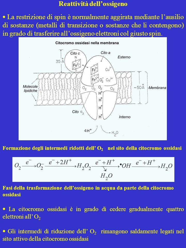 ROS E RNS Le ROS non sono limitate agli intermedi di riduzione dellossigeno, ma comprendono anche altre specie radicaliche, che presentano un elettrone spaiato sullatomo di ossigeno come il radicale alcossile RO ed il radicale perossile ROO, e specie non radicaliche come l 1 O 2 Tabella 1 Specie reattive dellossigeno (ROS) Radicali O 2 - Radicale superossido OHRadicale ossidrile RO Radicale alcossile ROO Radicale perossile Non radicali H 2 O 2 Perossido di idrogeno HOClAcido ipocloroso 1 O 2 Ossigeno singoletto O 3 Ozono Tabella 2 Specie reattive dellazoto (RNS) Radicali NO Ossido nitrico NO 2 Biossido dazoto Non radicali HNO 2 Acido nitroso N 2 O 4 Tetrossido dazoto ONOO - Perossinitrito