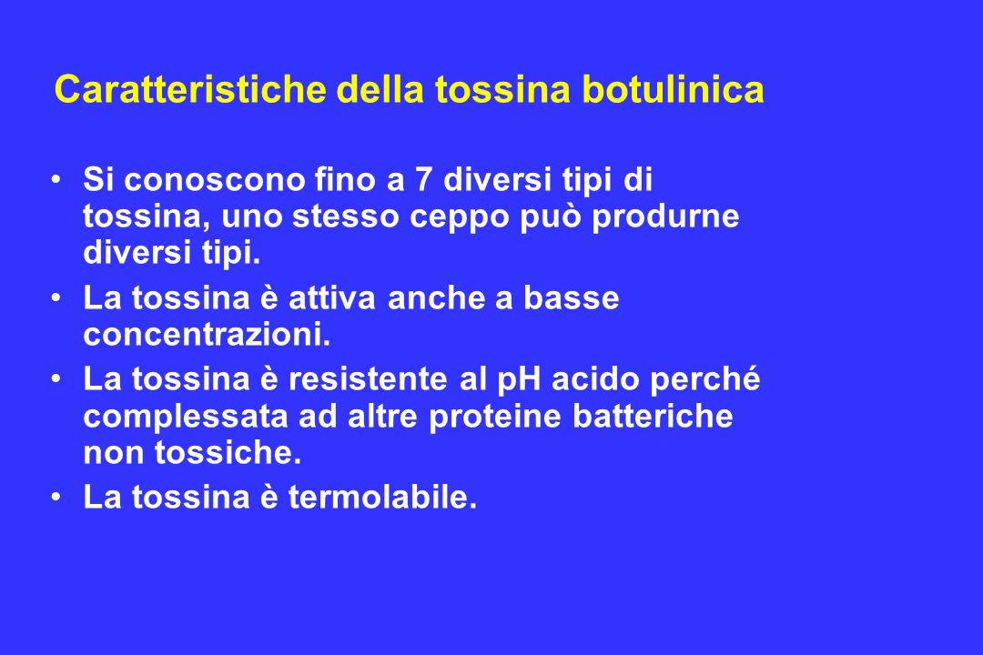 Caratteristiche della tossina botulinica Si conoscono fino a 7 diversi tipi di tossina, uno stesso ceppo può produrne diversi tipi. La tossina è attiv