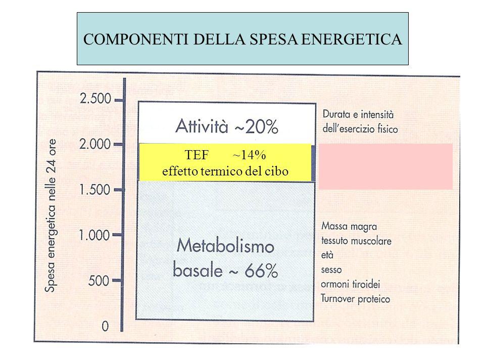 COMPONENTI DELLA SPESA ENERGETICA TEF~14% effetto termico del cibo