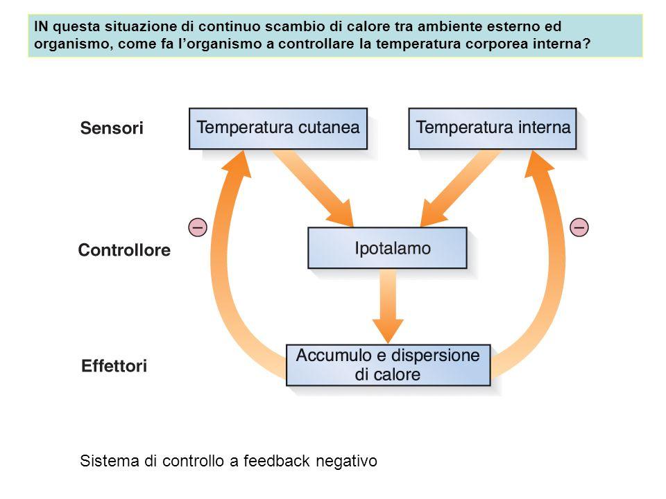 IN questa situazione di continuo scambio di calore tra ambiente esterno ed organismo, come fa lorganismo a controllare la temperatura corporea interna