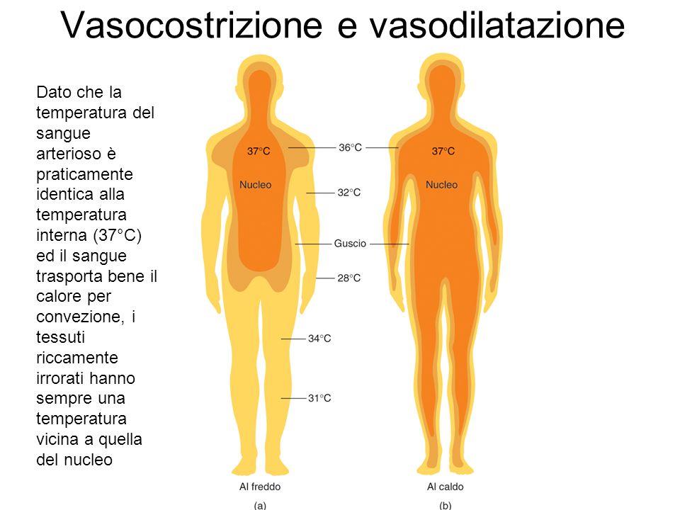 Vasocostrizione e vasodilatazione Dato che la temperatura del sangue arterioso è praticamente identica alla temperatura interna (37°C) ed il sangue tr