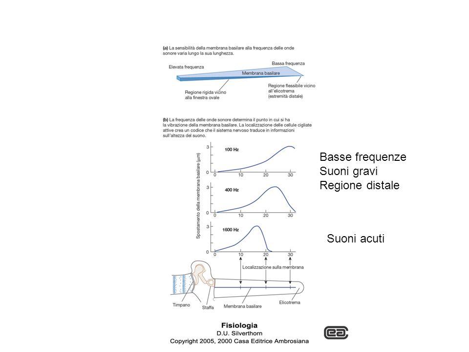 Suoni acuti Basse frequenze Suoni gravi Regione distale