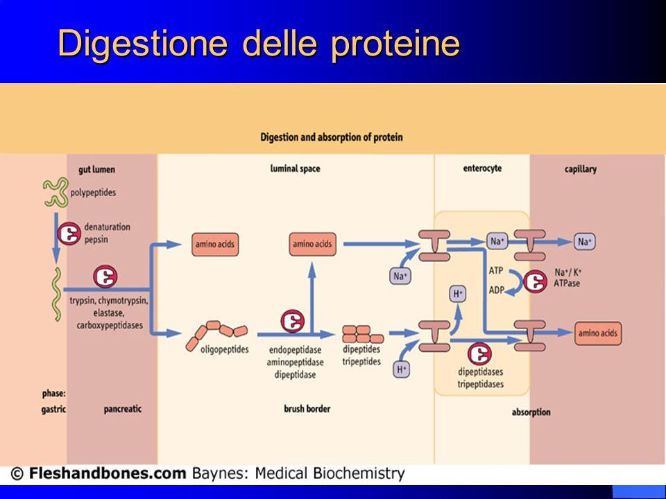 7 Digestione delle proteine