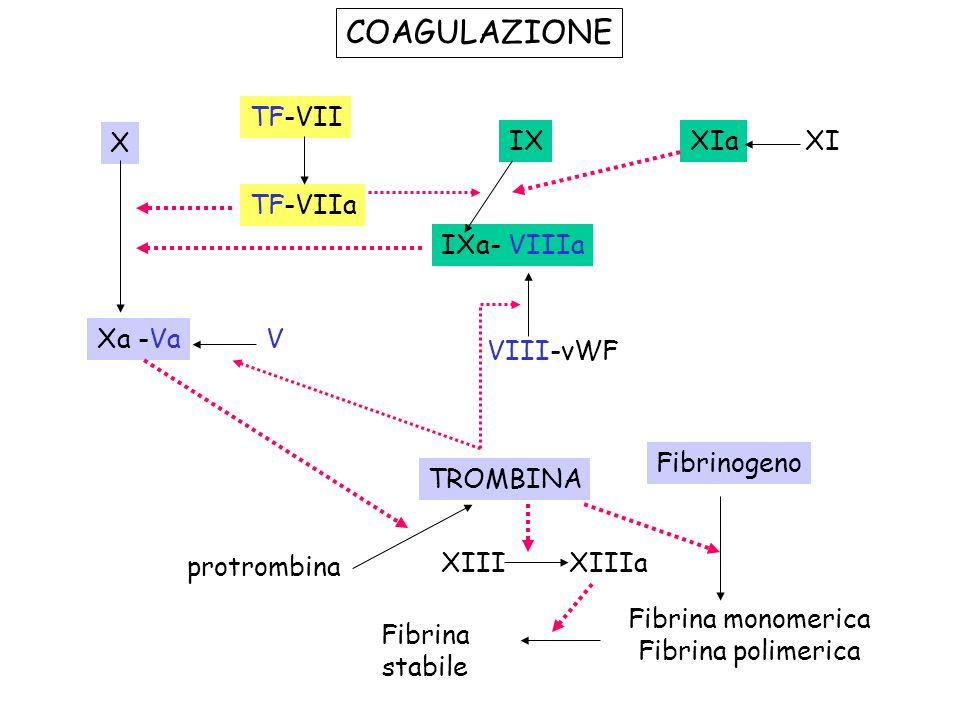 COAGULAZIONE TF-VII TF-VIIa X Xa -VaV IXXIaXI IXa- VIIIa VIII-vWF TROMBINA protrombina Fibrinogeno Fibrina monomerica Fibrina polimerica Fibrina stabi