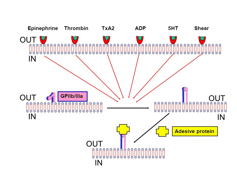 Adesive protein GPIIb/IIIa OUT IN OUT IN OUT IN Epinephrine Thrombin TxA2 ADP 5HT Shear OUT IN