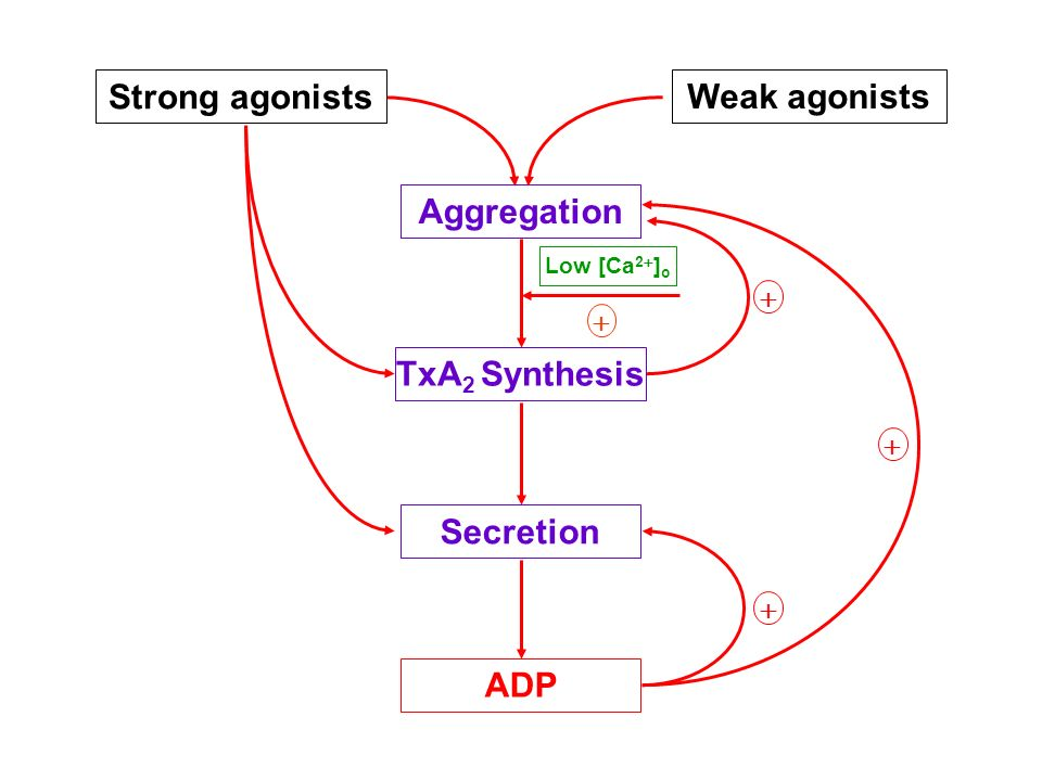 Strong agonists Aggregation TxA 2 Synthesis Secretion ADP Low [Ca 2 ] o Weak agonists