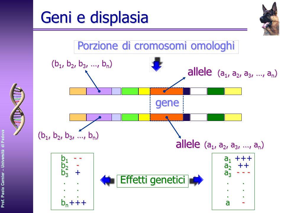 Prof. Paolo Carnier – Università di Padova Geni e displasia Porzione di cromosomi omologhi gene alleleallele (a 1, a 2, a 3, …, a n ) (b 1, b 2, b 3,
