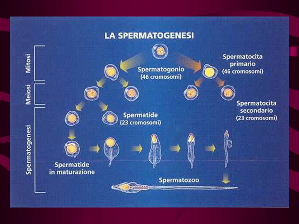 Contenuto in DNA durante la spermatogenesi