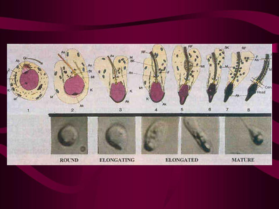 Identificazione degli spermatidi rotondi TEM visualizzazione selettiva dellacrosina o della proacrosina con anticorpi monoclonali FISH per la valutazione dellaneuploidia Papanicolau Testsimplet microscopio cofocale microscopio con ottica Hoffman microscopio con contrasto di fase