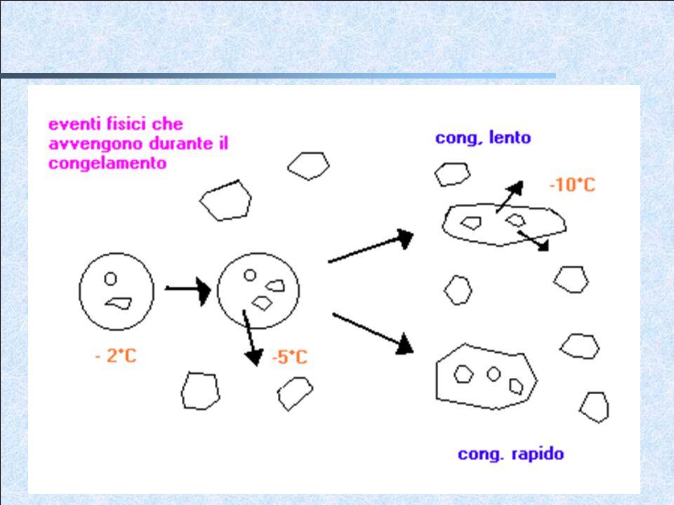 Se la cellula viene raffreddata molto lentamente, il trasporto massivo di acqua allesterno di essa riduce la differenza di potenziale chimico a livello della membrana, risultando in una progressiva disidratazione.