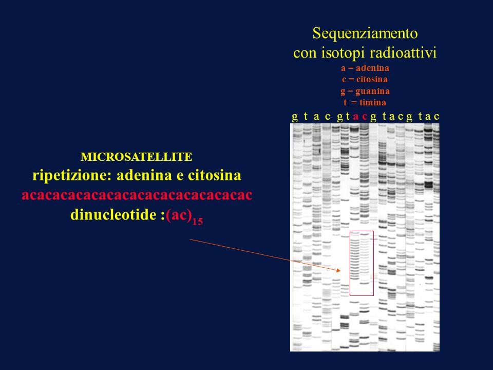 Sequenziamento con isotopi radioattivi a = adenina c = citosina g = guanina t = timina g t a c g t a c MICROSATELLITE ripetizione: adenina e citosina