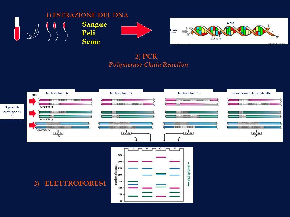 Sangue Peli Seme 1) ESTRAZIONE DEL DNA Doppia Elica DNA Individuo AIndividuo BIndividuo Ccampione di controllo 3 paia di cromosom i omologhi 2) PCR Po
