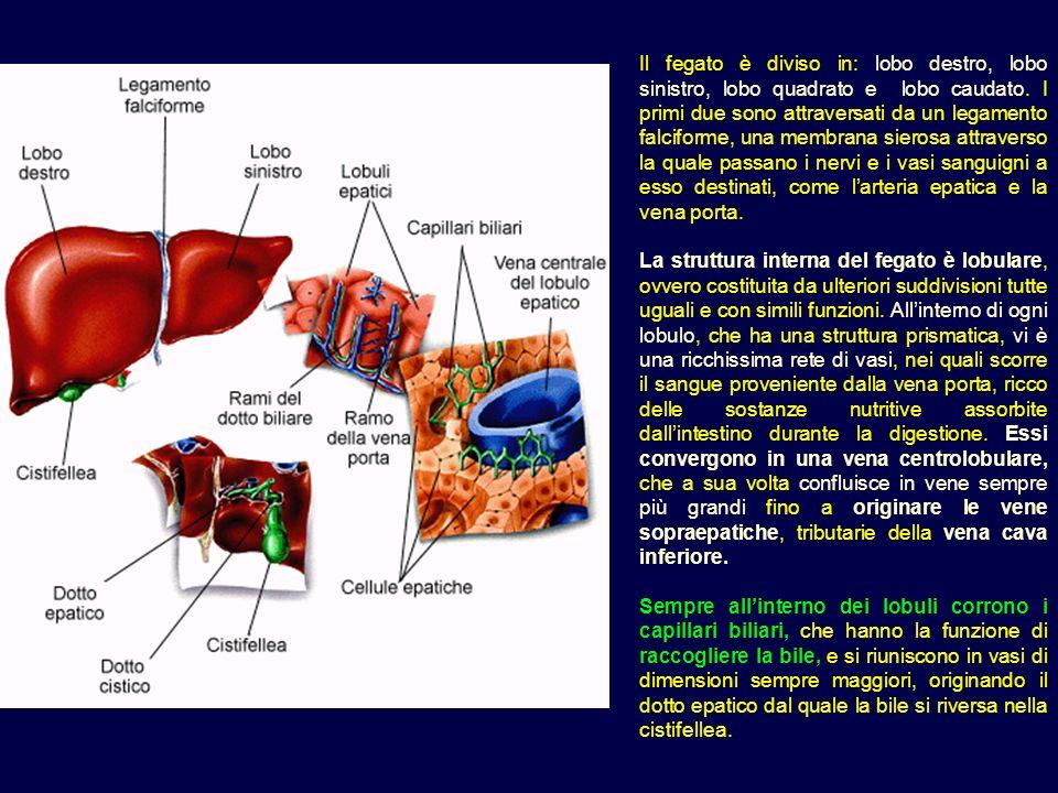 Il fegato è diviso in: lobo destro, lobo sinistro, lobo quadrato e lobo caudato. I primi due sono attraversati da un legamento falciforme, una membran