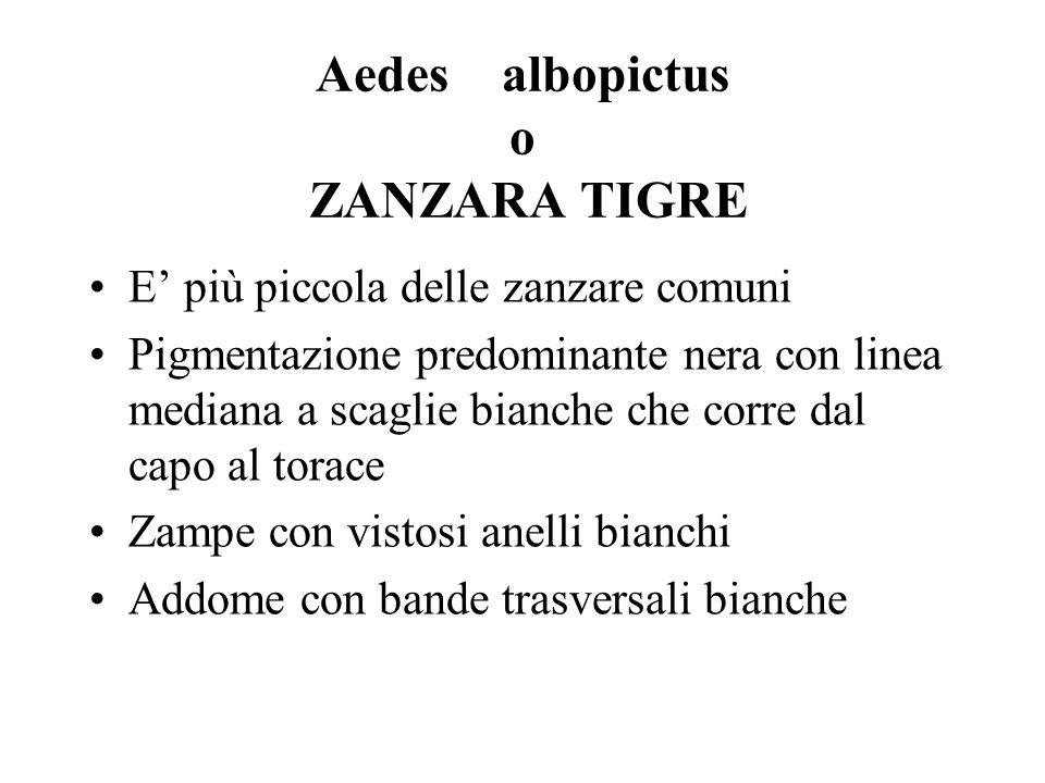 Aedes albopictus o ZANZARA TIGRE E più piccola delle zanzare comuni Pigmentazione predominante nera con linea mediana a scaglie bianche che corre dal
