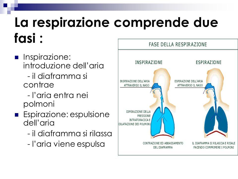 La respirazione negli esseri umani e negli altri mammiferi avviene attraverso l'apparato respiratorio che è composto da diverse parti: cavità nasale c