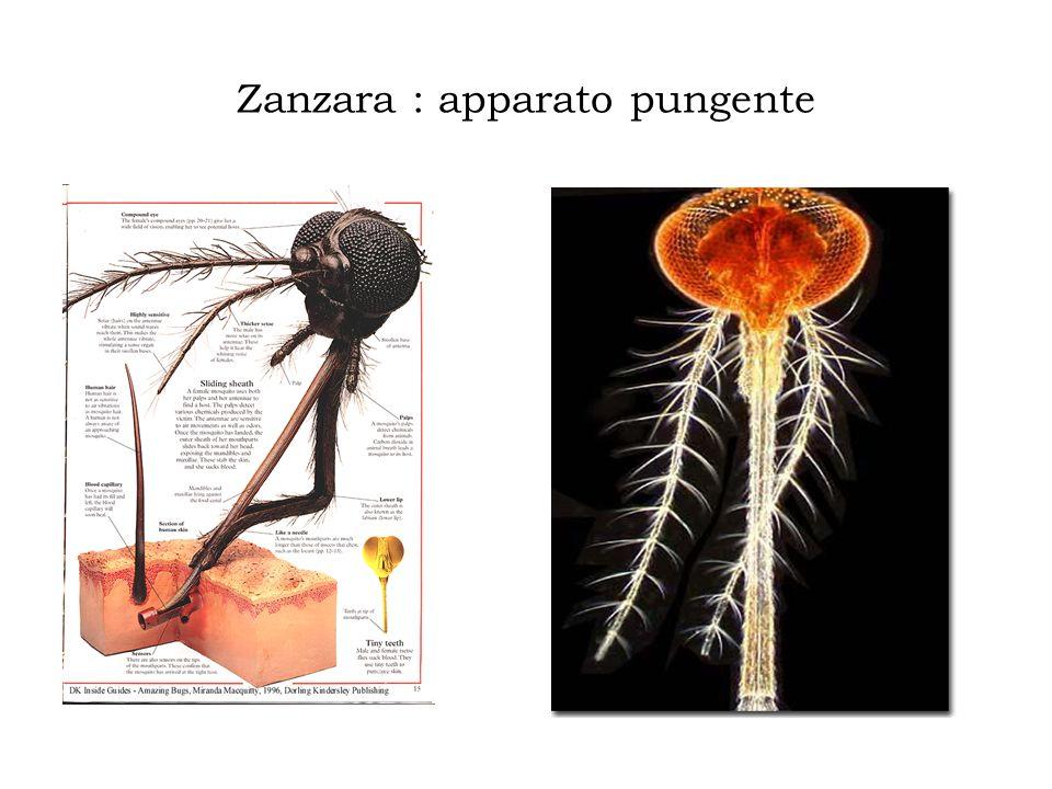 Zanzara : apparato pungente