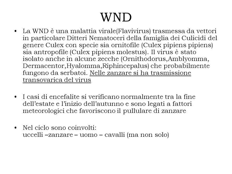 WND La WND è una malattia virale(Flavivirus) trasmessa da vettori in particolare Ditteri Nematoceri della famiglia dei Culicidi del genere Culex con s