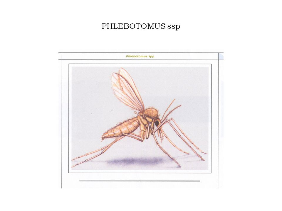 Phlebotomus Phlebotomi presenti in Italia: P.