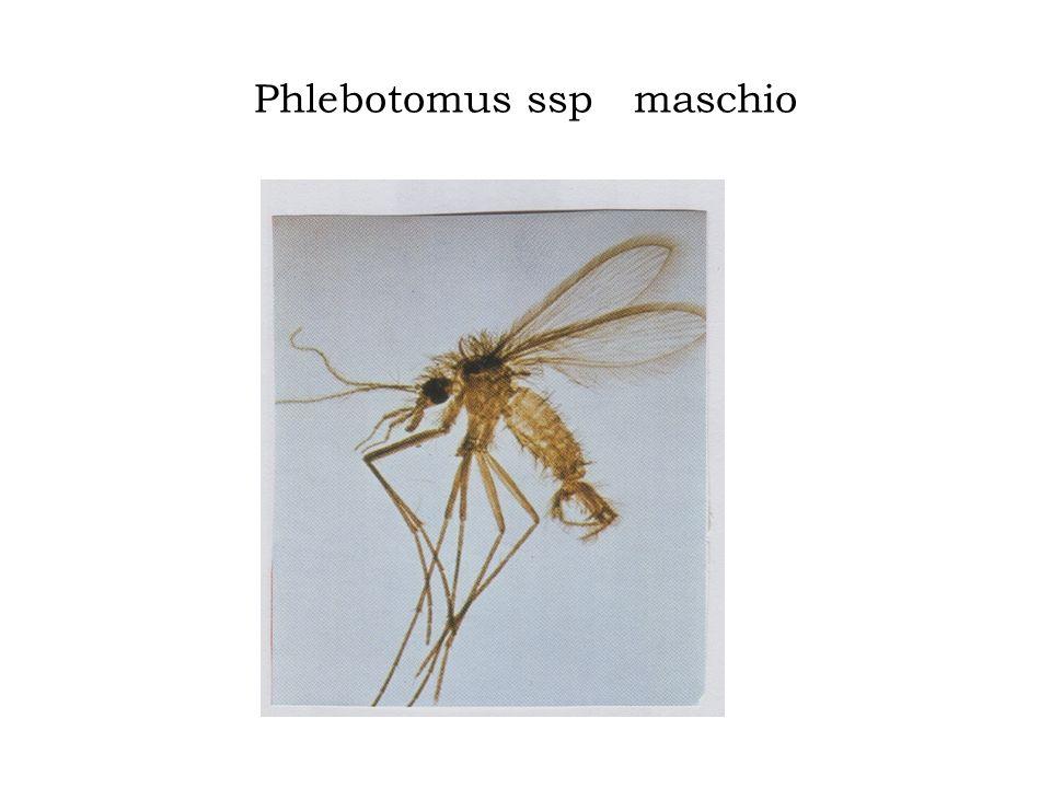 SISTEMATICA REGNO Animale PHYLUM Arthropoda CLASSE Insecta ORDINE Diptera FAMIGLIA Psycodidae GENERE Phlebotomus SPECIE perniciosus-perfiliewi