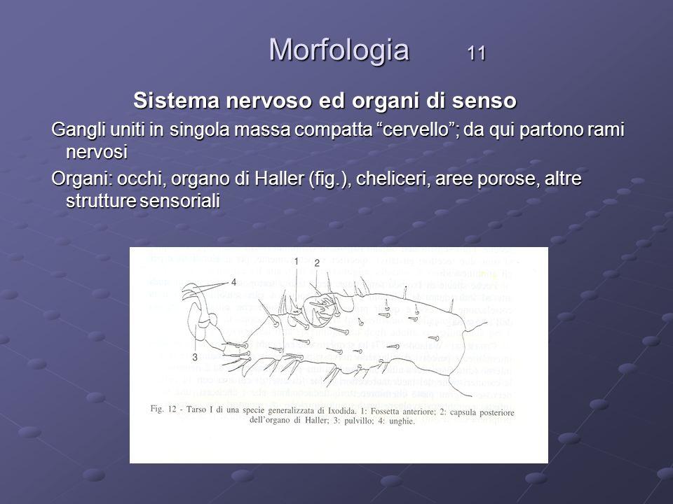 Morfologia 11 Morfologia 11 Sistema nervoso ed organi di senso Sistema nervoso ed organi di senso Gangli uniti in singola massa compatta cervello; da