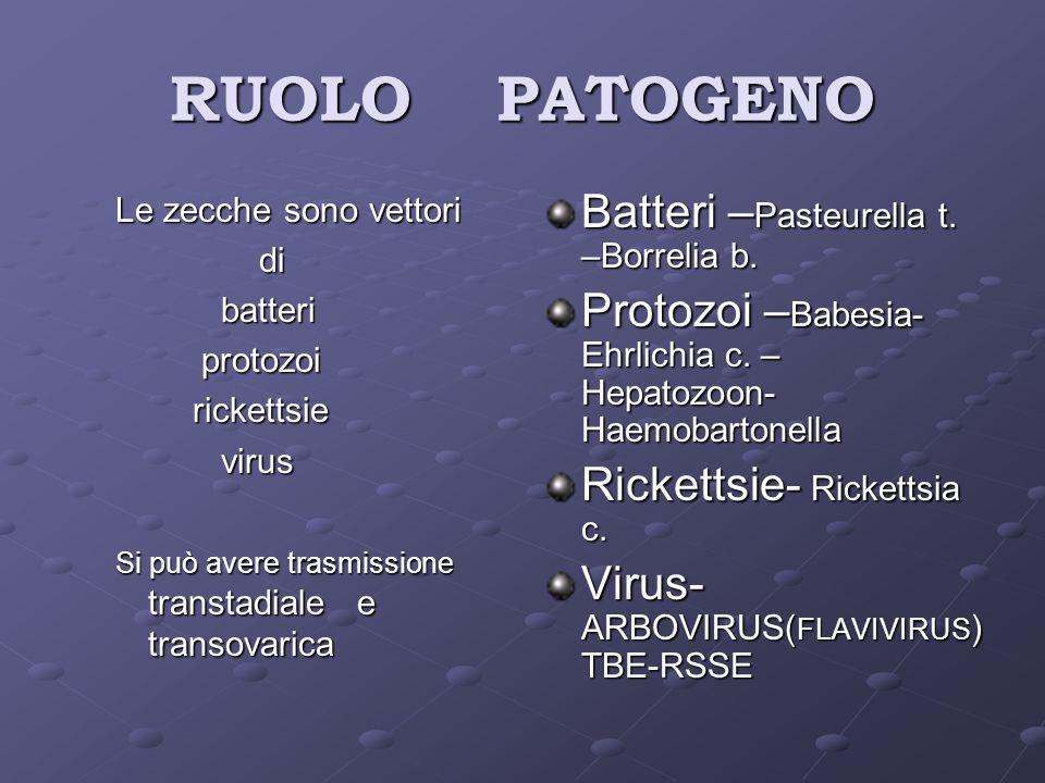 RUOLO PATOGENO Le zecche sono vettori di di batteri batteri protozoi protozoi rickettsie rickettsie virus virus Si può avere trasmissione transtadiale